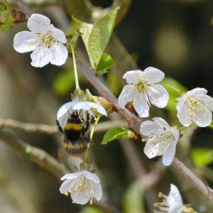 Hummel sitzt in einer weißen Blüte
