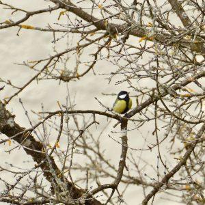 Gelb-schwarzer Vogel auf einem kahlem Zweig