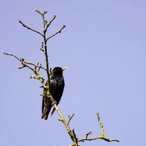 Schwarzer Vogel sitzt auf einem Ast