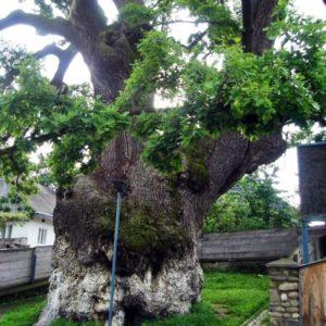 180208_European-Tree-of-the-Year-Rumaenien-N-Robu-1030x1030