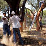 Arbeiter schälen die Rinde eines Baumes ab