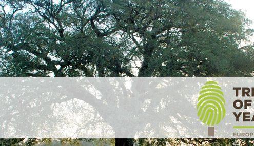 Großer Korkbaum
