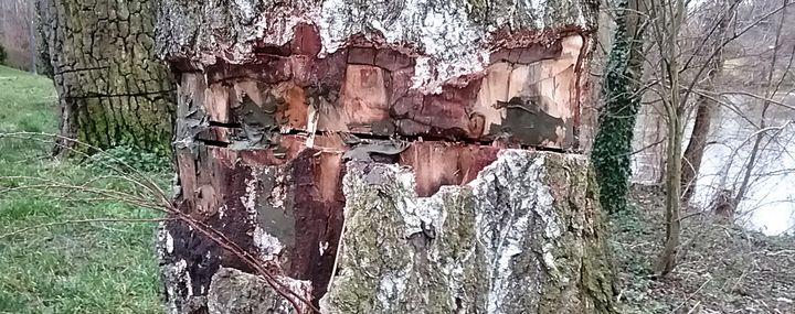 Birkenstamm ist rundrum eingeschnitten und Teile der Rinde fehlen.