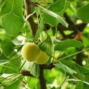 Ginkgofrüchte an einem Zweig mit Blättern