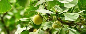 Kugelrunde grüne Früchte des Ginkgo an einem Zweig