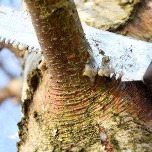 Eine Handsäge schneidet einen Ast ab