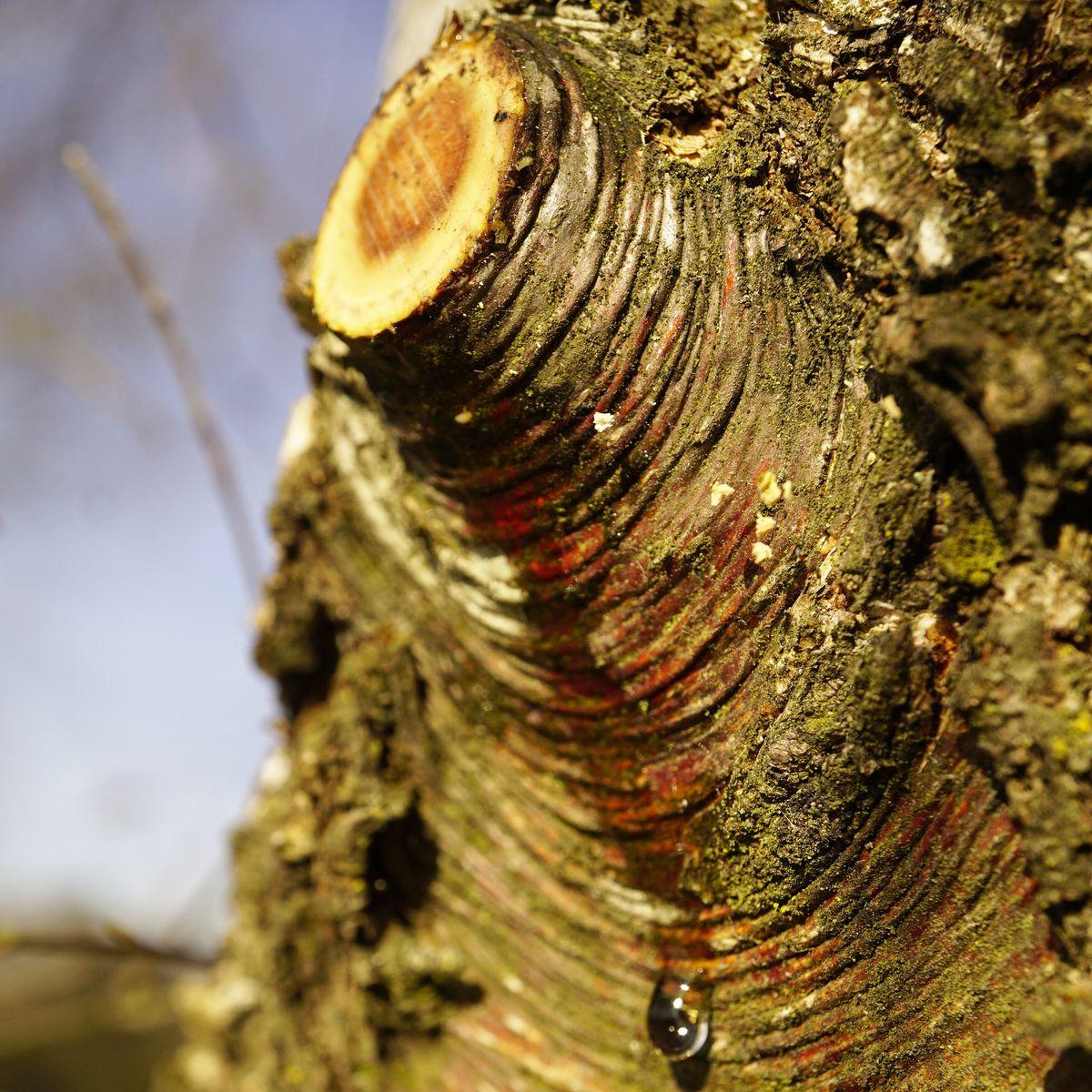 """Was steckt hinter dem """"Bluten"""" der Bäume?"""