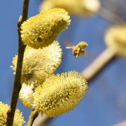Biene voller Pollen zwischen Weidenkätzchen