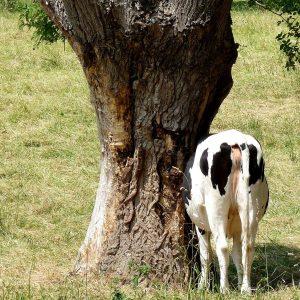 Eine Kuh steht neben einer Kopfweide