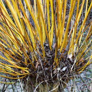 Dicker Kopf einer Weide, aus dem zahlreiche Triebe wachsen