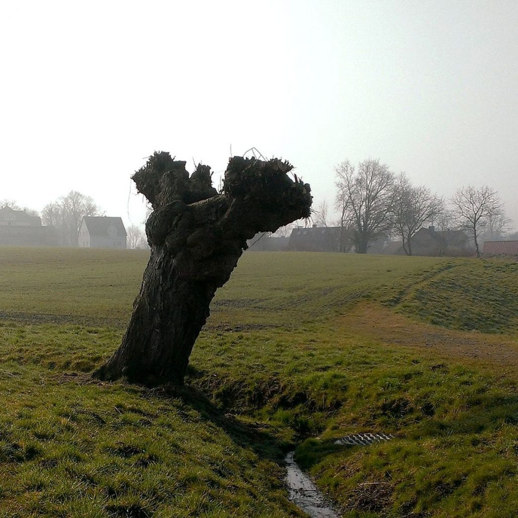 Richtiger Baumschnitt Pflege Fur Kopfweiden Baumpflegeportal
