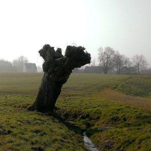 Geschnittene Kopfweide auf einem Feld
