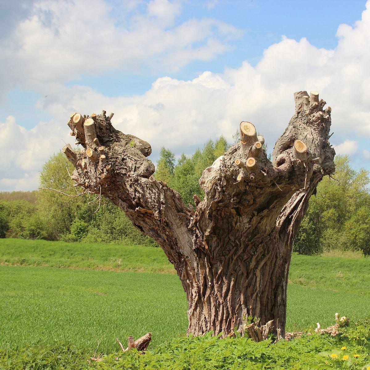 Richtiger Baumschnitt: Pflege für junge und alte Kopfweiden