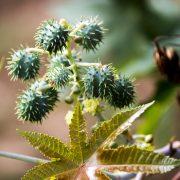 Runde Stachlige Früchte neben einem grünen herzförmigen Blatt