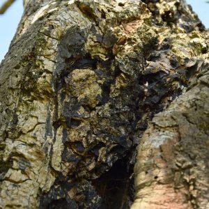 Ausgebrochene Stammstelle ist mit einem schwarzen Pilz überzogen.