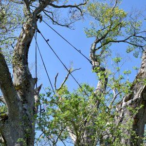 Zwischen den Ästen eines Baumes sind Seile gespannt.
