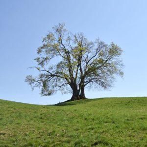 Alter Baum mit morschen Ästen auf einem Hügel
