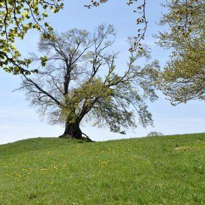 Alter Baum mit frischen Blättern auf einer Wiese