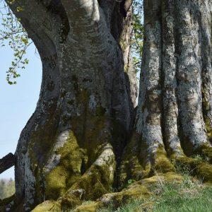 Grauer Stamm einer Buche mit zahlreichen grünen Moosen und grauen Flechten.