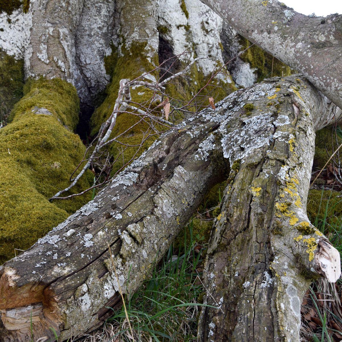 Drumlin Buche bei Landstetten