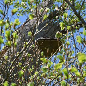 Baumpilz an einem alten knochigen Stamm