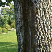 Stamm eines Baumes mit langer vertikaler Rinne in der Rinde