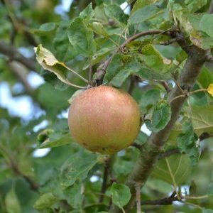 Apfel an einem Ast