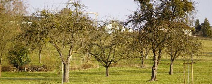 Streuobswiese mit zahlreichen unterschiedlich großen und unbelaubten Obstbäumen