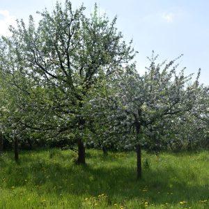 Streuobstwiese im Frühjahr mit verschiedenen Bäumen