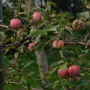 Rote Äpfel an einem Apfelbaum-Ast