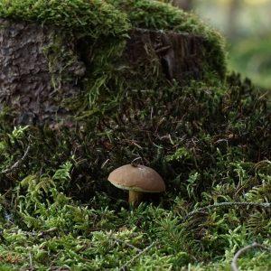 Eine Pilz auf Waldboden vor einem vermoosten Baumstumpf
