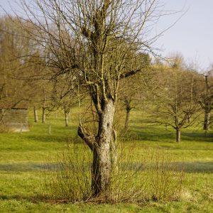 Alter Apfelbaum auf einer Streuobstwiese mit abgebrochener Krone