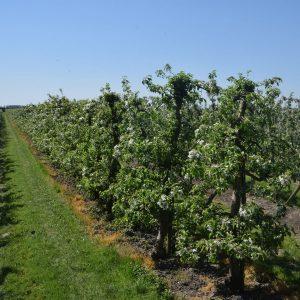 In Reihe gepflanzte, niedrigstämmige Apfelbäume in Blüte