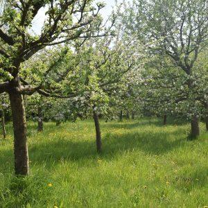 Streuobstwiese mit verschiedenen Baumarten in Blüte.