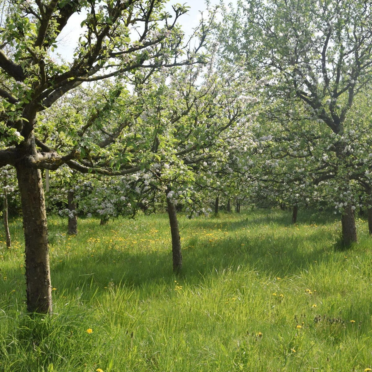 Sortenvielfalt auf Streuobstwiesen
