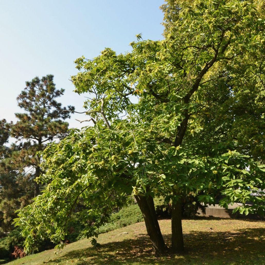 die esskastanie als gartenbaum – baumpflegeportal