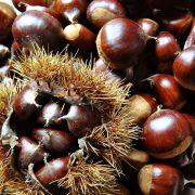 Zahlreiche Esskastanienen geschält und in der Fruchtschale