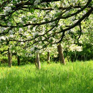 Ast eines Apfelbaumes mit weißen Blüten auf einer Streuobstwiese.