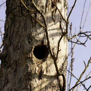 Spechthöhle in einem Apfelbaum-Stamm.