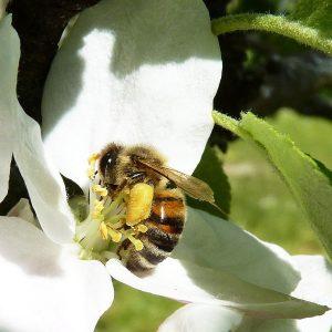 Biene mit Nektartaschen an den Beinen in einer Apfelblüte.