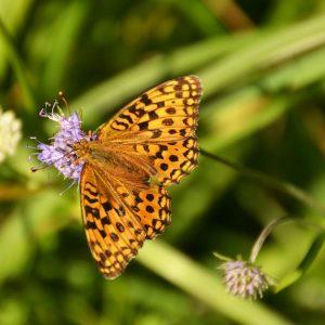 braun-oranger Schmetterling mit schwarzer Maserung uaf einer lila Blüte mit grünem Hintergrund