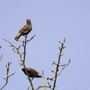 Zwei Stare in der Spitze eines Apfelbaumes