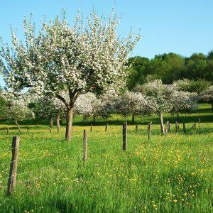 eingezäunte Streuobstwiese in Blüte mit blauem Himmel und blühenden Gräsern unter den Bäumen.