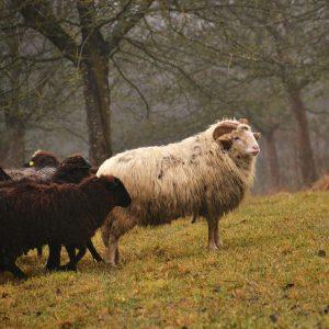 Weiße und braune Schafe auf einer Obstwiese