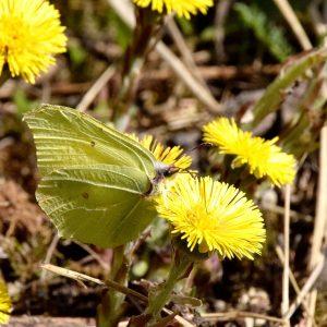 Gelber Zitronenfalter auf gelber Löwenzahn-Blüte