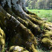 Wurzelanläufe eines dicken Baumes