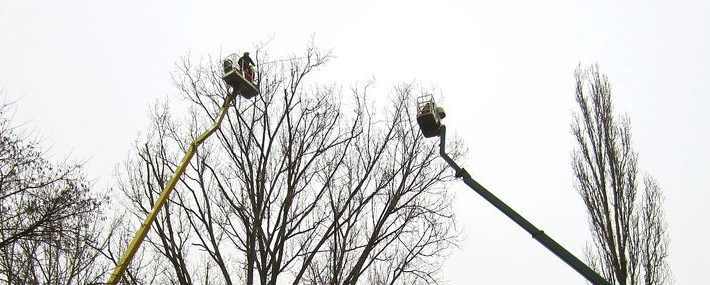 Zwei Arbeitsbühnen an langen Ausliegern in der Krone eines Baumes