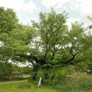 Kleiner knochiger Baum an einem Weg.