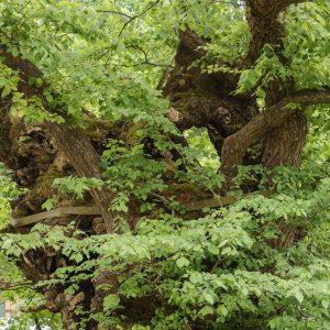 Baumkrone aus verwachsenen Ästen, Trieben und Stammteilen.