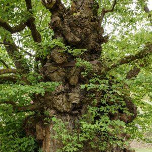 Alter Baum mit vielen Beulen, schiefen Ästen und kleinen Trieben.